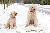 image of poodle  - Two pets poodle dogs sitting together in snow along road in nature - JPG