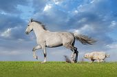 stock photo of wild horse running  - Beautiful grey trotter horse run with dog at the meadow - JPG