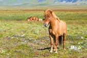 picture of iceland farm  - Reddish Icelandic horse with reddish mane standing on green grass - JPG