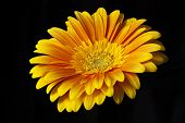 picture of stamen  - Big orange gerbera flower closeup shot with stamens and petals - JPG