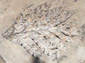 picture of paleozoic  - large print plant leaf with veins in solid rock - JPG