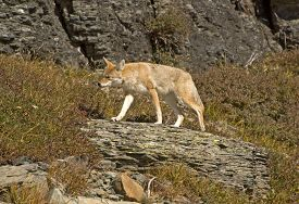 pic of coyote  - Coyote on the Move in Glacier National Park - JPG