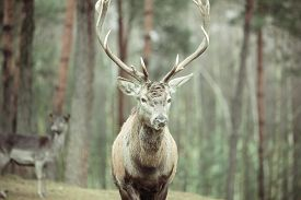 image of male-domination  - Majestic powerful adult male red deer stag in autumn fall forest - JPG