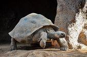 foto of tortoise  - Giant Big Galapgos Earth Tortoise Turtle on the Floor - JPG