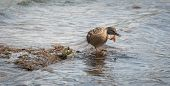 pic of parade  - A female Mallard duck goes out looking for action and parading for a mate - JPG
