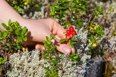 foto of pick up  - Young woman picking lingonberry in forest close - JPG