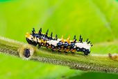 foto of caterpillar  - Close up of young Common Mime  - JPG