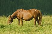 picture of bay horse  - Beautiful bay horse grazes in the mountains at sunset - JPG