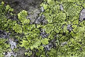 foto of lichenes  - Yellow map lichen on a grey granitic rock. ** Note: Soft Focus at 100%, best at smaller sizes - JPG
