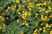 foto of marshes  - Marsh marigold flowers  - JPG