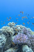 foto of shoal fish  - colorful coral reef with shoal of fishes scalefin anthias in tropical sea - JPG