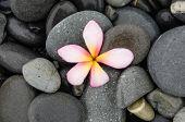 image of frangipani  - Pink frangipani and wet stones   - JPG
