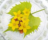 image of chloroplast  - yellow flowers in water and berries of a red currant on green to a leaf - JPG