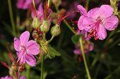 image of geranium  - geraniums blooming in the garden in summer closeup - JPG