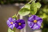 picture of plant species  - Solanum rantonnetii  - JPG