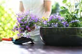 picture of plant pot  - Female plants in pot plants forming a beautiful composition flower - JPG