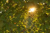 pic of creeping  - wallpaper of woodbine creeping on metal mesh fence during sunset - JPG