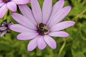 picture of bumble bee  - Bumble bee sat on a pink flower - JPG