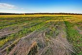 foto of dry grass  - Autumnal field with dry cut grass under blue sky - JPG
