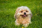 picture of little puppy  - little white puppy lying on the green grass - JPG