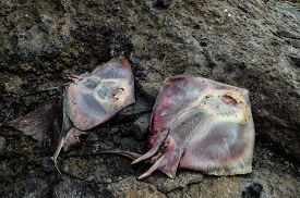 pic of stingray  - Dead Stingray Fish on the Coast near the Atlantic Ocean - JPG