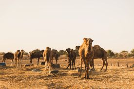 picture of sahara desert  - The group of camel standing near the Sahara desert waiting for the tourist for desert tour during morning time on March 2014 in Merzouga city Morocco - JPG