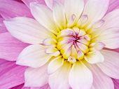 stock photo of yellow flower  - pink yellow flower background - JPG