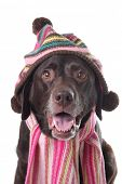 picture of chocolate lab  - Chocolate lab wearing a knitted hat and scarf - JPG