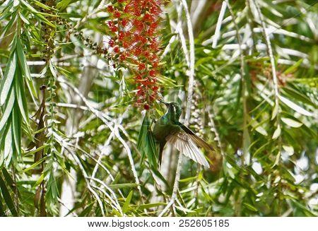 Greytailed Mountaingem Hummingbird Resting On