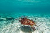 picture of sea-turtles  - Green turtle in nature of Caribbean sea - JPG