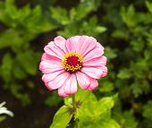 Gently Pink Tsinia Flower, Close-up, Tsinia Botany poster