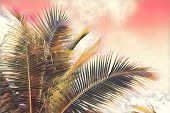 Coco Palm Tree Crown On Sky Background. Pink Toned Palm Leaf On Sunset Sky. Tropical Vacation Digita poster