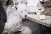 Fluffy Little White Dog In The Hands Of An Unrecognizablegirl With Long Hair, Shared Leisure, Dog Is poster