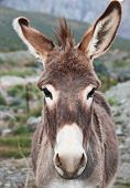 picture of jack-ass  - Wild Burro in desert up close head shot looking forward - JPG