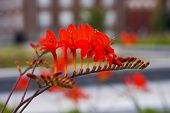 picture of lucifer  - a red Crocosmia Lucifer flower in a garden - JPG