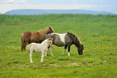Three Horses At The Meadow