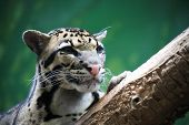 stock photo of ocelot  - Closeup portrait of beautiful wild cat lying on tree - JPG