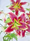 image of asiatic lily  - Vertical still life of beautiful red burgundy colored Asiatic lily flowers - JPG