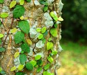 image of english ivy  - Ivy on tree bark - JPG