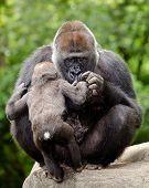 Постер, плакат: Женский гориллы ухаживает за молодых