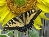Yellow Butterfly on Sunflower