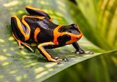 stock photo of orange frog  - Red striped poison dart frog - JPG