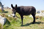 stock photo of headstrong  - The Donkey grazing in the spanish countryside - JPG