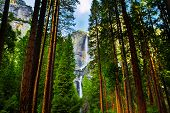 pic of horsetail  - Yosemite Waterfalls behind Sequoias in Yosemite National Park,California