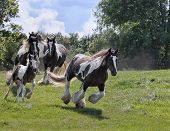 picture of gypsy  - Herd of Gypsy Vanner (Irish Cob, Gypsy Cob) horses running down a hillside.