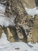 stock photo of panthera uncia  - Snow leopard jumping down the snowy ledge in the mountains - JPG