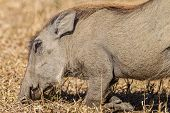 Warthog Habits Eating Wildlife