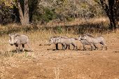 Wildlife Warthogs Litter