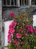 pic of climbing roses  - Red roses climbing on Tudor timber framed house - JPG