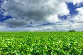stock photo of soybeans  - Soybean field and blue sky ar day - JPG